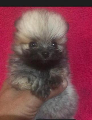 Extra small toy pom puppy