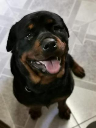 Lion head Rottweilers 3 males