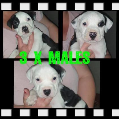 Registered Pitbull puppies in Moreleta Park, Gauteng