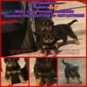 Adorable LION HEAD pure breed Rottweilers kusa