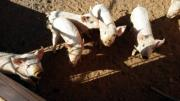 Piglets 3 months old for sale
