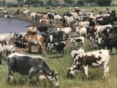 TOP QUALITY LIVE SHEEP, GOATS AND CATTLE ( STEER, COWS & CALF