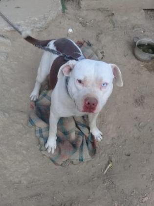 Beautiful big and rare colour American pitbull pups