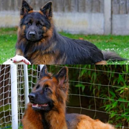 Beautiful Curved Back German Shepard Puppies