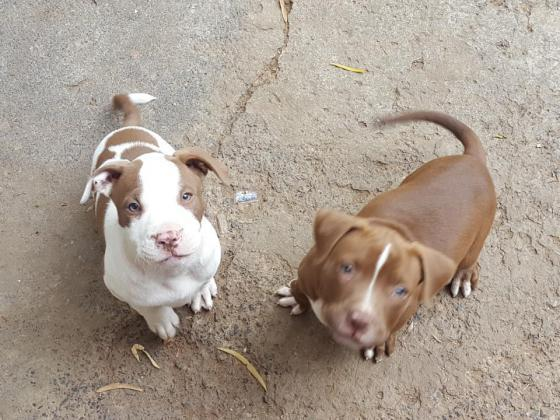 Beautifull Pitbull puppies. Very strong bloodlines in Cape Town, Western Cape