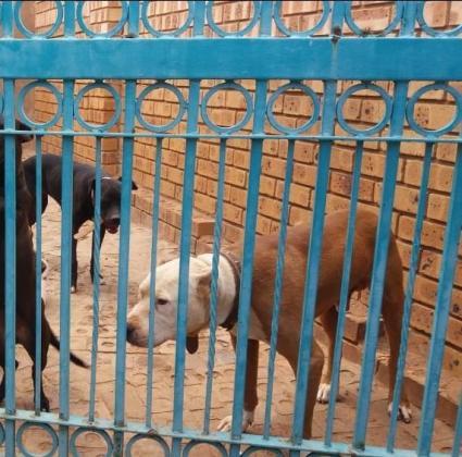 Pitbull puppies in Pretoria-Tshwane, Gauteng