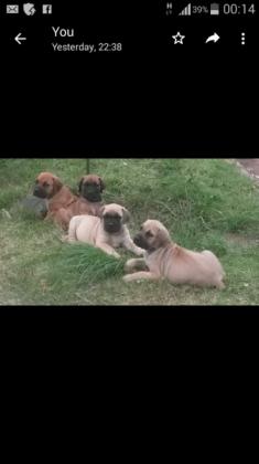 boerboel puppies in Queensburgh, KwaZulu-Natal