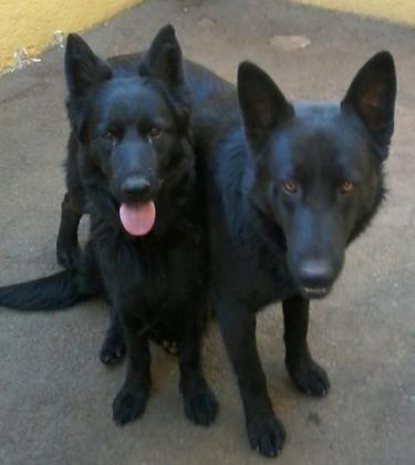 German Shepherd Pups in Boksburg, Gauteng
