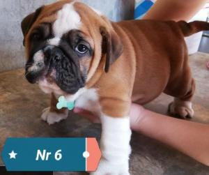 Pedigree English Bulldogs pups for sale Pretoria