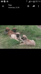 boerboel puppies