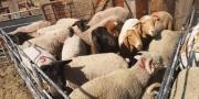 Merino sheeps