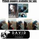 Pitbull pups