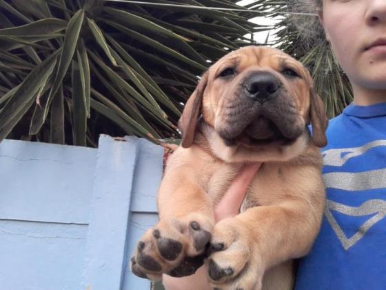 Boerboel Male puppy for sale in Port Elizabeth, Eastern Cape