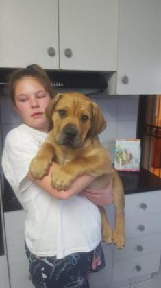 Boerboel puppies for sale in Port Elizabeth, Eastern Cape