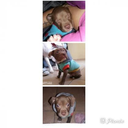 Pitbull puppy in Cape Town, Western Cape