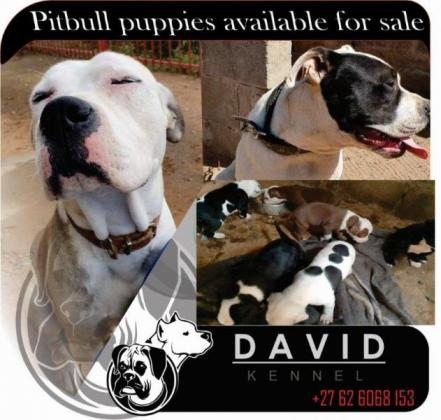 Pitbull pups in Bloemfontein, Free State