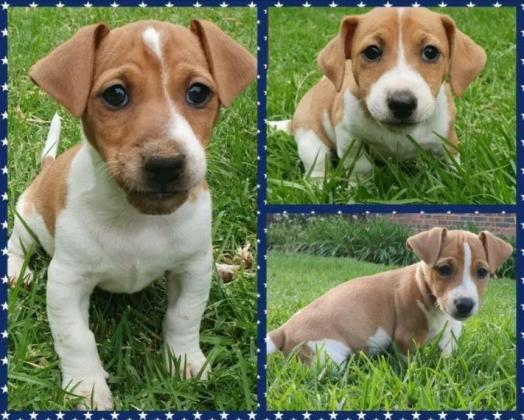 Purebred Jack Russell Puppies in Ceres, Western Cape