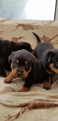 Top Quality German Rottweiler Puppies