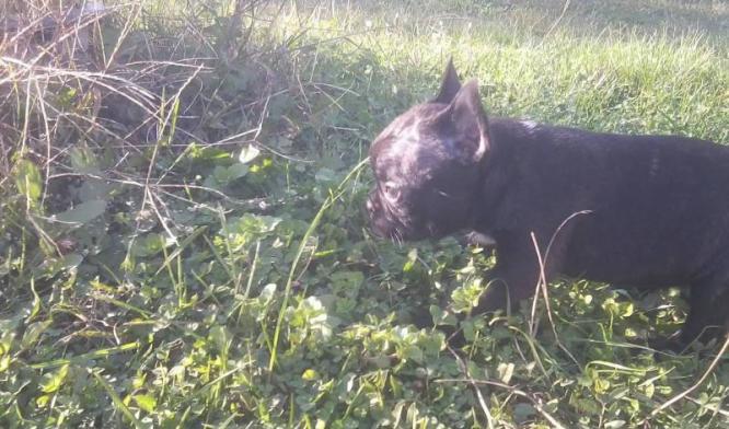 French Bulldog puppies 7 week