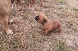 French Bulldog puppies 8 weeks