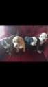 American Staffordshire Terrier puppies Johannesburg South