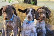 German Short haired Pointer Puppies