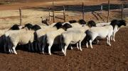 livestock boer goats and sheep