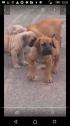 Purebred boerboel puppies