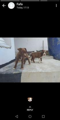 Beautiful big  American pitbull pups in Durban, KwaZulu-Natal