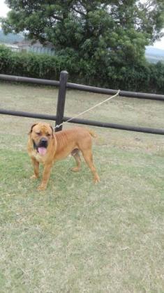 Registered Boerboel pup for sale in Queensburgh, KwaZulu-Natal