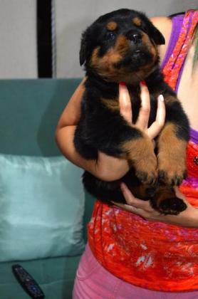 Kusa registered Rottweiler puppies for sale