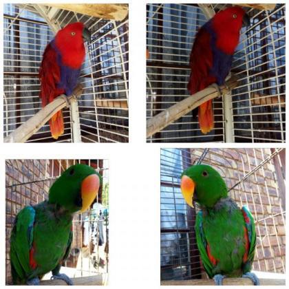 Solomon Eclectus Parrots in Springs, Gauteng