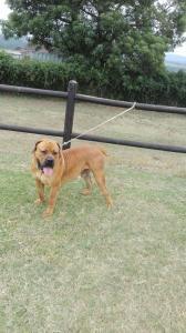 Registered boerboel pup for sale