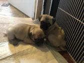Beautiful 8 weeks old pug Puppies Ready Now!