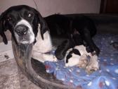 Great Dane Puppy Pure Bred