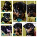 Rotweiler puppies