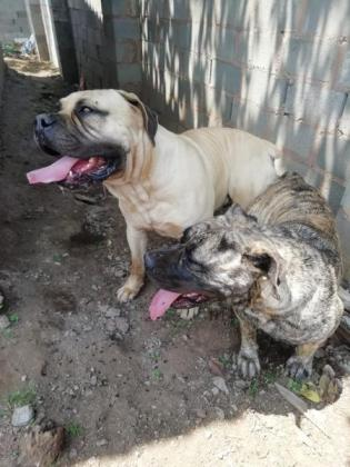Beautiful boerboel pups available in Durban, KwaZulu-Natal