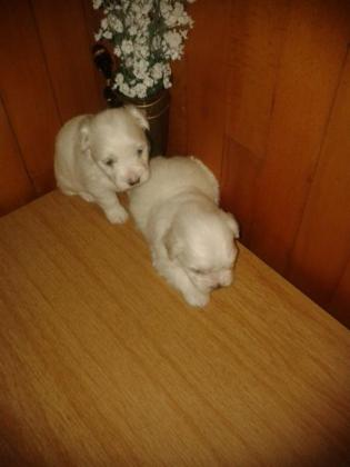 Miniature Maltese puppies in Brackenfell, Western Cape
