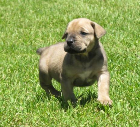 Pedigree Boerboel puppies for sale in Deneysville, Free State
