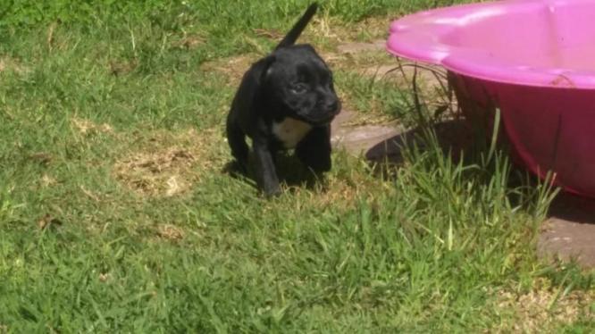 Staffi puppies for sale in Pretoria East, Gauteng
