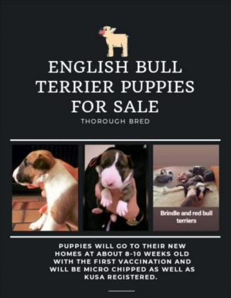 THOROUGH BRED BULL TERRIER PUPPIES FOR SALE in Cape Town, Western Cape