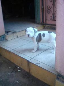 Beautiful american pitbull terrier pups