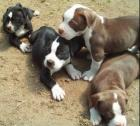 American Pitbull Terrier Puppies Available