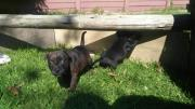 Staffi puppies for sale
