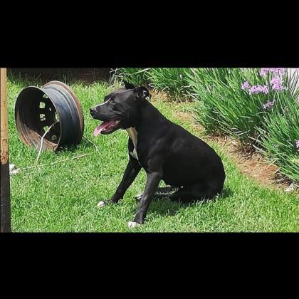 Female pitbull for sale