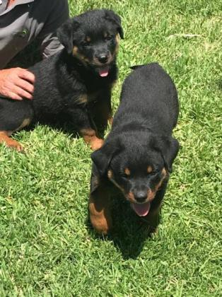 KUSA Registered Rottweiler pups in Cape Town, Western Cape