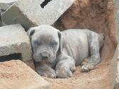 Big boerboel pups available