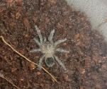 Curly hair tarantulas for sale