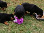 rottweiler Puppies for sale. 3 Females & 3 Males