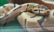 Selling ball python.